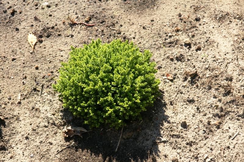 c hebe green globe emerald green area 9 plant 1. Black Bedroom Furniture Sets. Home Design Ideas